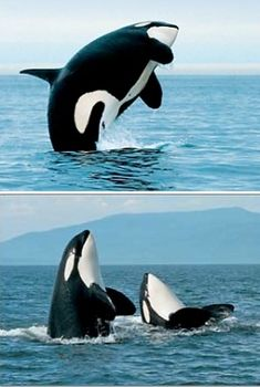 :::: PINTEREST.COM christiancross :::: San Juan Islands Whale Watching #orca #killerwhale #ocean #free