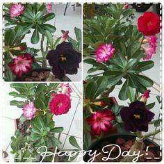 Variedades de Rosas do Deserto!
