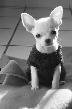 Cute Chihuahua...(reminds me of Chloe in THE BEVERLY HILLS CHIHUAHUA movie)