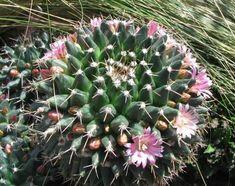 Spirals in Nature Golden Ration, Maths In Nature, Spirals In Nature, Cactus, Fibonacci Spiral, Spiral Pattern, Patterns In Nature, Natural Wonders, Flowers