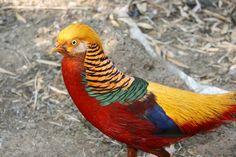 Golden Pheasant                                                                                                                                                                                 Mais