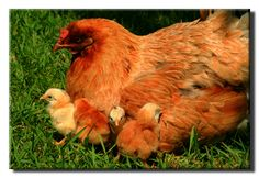 How To Raise Chickens – Getting Started!