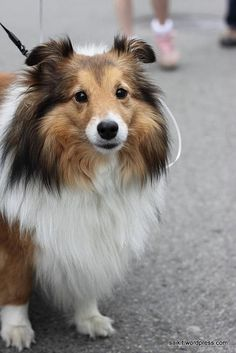 Shelties | Flickr - Photo Sharing!