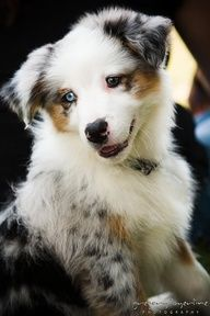 Look @ That sweet Face and Blue Eyes- A Blue Merle