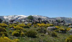Piorno en flor Gredos a Caballo.  Spain Vacaciones Horse Cheval  www.gredosacaballo. com