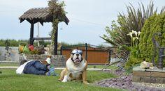 Leonberger Home page New Puppy, Labrador Retriever, Ireland, Puppies, Dogs, Pictures, Animals, Design, Labrador Retrievers