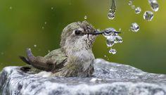 Annas Hummingbird (Calypte anna) taking a bath