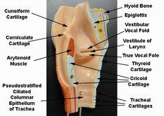 larynx muscles - Google Search