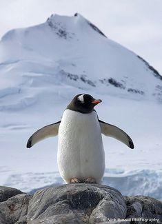 Proud Gentoo Penguin | Nick Russill | Flickr