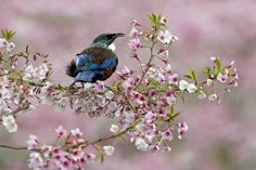 Tui | Tony Smith Photography Blue Jay, Birds, Bedroom, Gallery, Photography, Animals, Photograph, Animales, Roof Rack