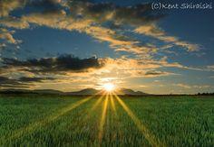 緑の麦畑に朝日のビーム光線