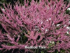 The lovely redbud tree so ubiquitous to the Smoky Mountains.