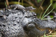 Lovin' the mama gator and baby! Visit with Everglades wildlife at Everglades Holiday Park in Fort Lauderdale! Baby Alligator, Baby Elephant, Baby Octopus, Baby Koala, Young Animal, Animal Species, Orangutan, Working Moms, Mothers Love