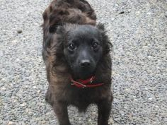WASHINGTON ~ meet Andre an #adoptable #Schipperke dog Auburn. What a gorgeous boy! He's a V sweet little guy- a little shy  but warms up quickly with everyone. He's barely a yr old & weighs about 12-13bs  Andre` gets along great with  dogs no matter the size & will do best with another dog in the home. He's also very affectionate & loves to hang with his people. Andre` would prefer a moderately active home with kids over 12yrs old.  #Adopt him at K9 Rescue & Rehab ph  2062715750…