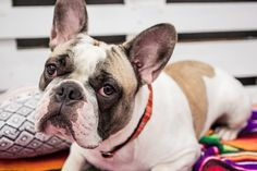 Bono has mastered the art of puppy eyes. Arrow dog collar available on www.tail-wag.com, French Bulldog, Frenchies. Dog Photography. Cute Dogs. #shopifypicks