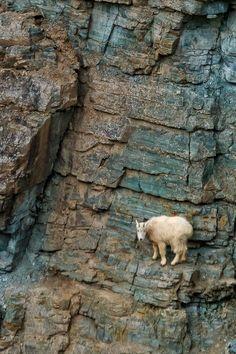 Sure-footed Mountain Goat, Glacier National Park, Montana . Beautiful Creatures, Animals Beautiful, Cute Animals, Animals And Pets, Wild Animals, Photo Animaliere, Big Sky Country, Mundo Animal, Fauna