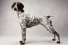 Westminster's Best of Breed - Photographs - NYTimes.com. German Shorthaired Pointer