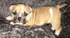 Alvin is a fawn male English Bulldog puppy, American born and raised, with champion lines being sold with a one year pup guarantee, shots and lots of soft wrinkles. For more information call/text Adele at 303-653-1437 and come see us at www.tankrtots.com.