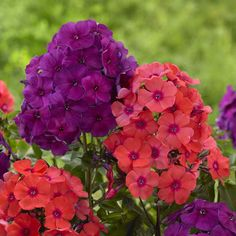 Bring electrifying color to your garden with this pair of Phlox! Nicky and Orange Perfection are perennials that also are great for cutting.