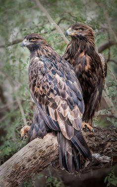 Golden Eagles, Magnificent Birds