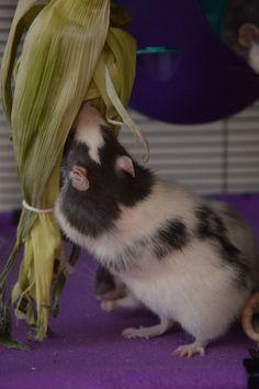 Kara's World - Rat Toy Masterpost!Kara's World - Rat Toy Masterpost! Diy Rat Toys, Pet Toys, Pet Rat Cages, Best Small Pets, Rat Care, Fancy Rat, Cute Rats, Pet Supply Stores, Animal Projects