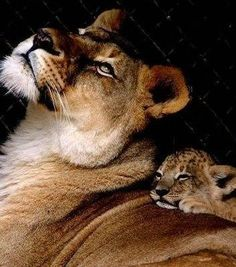 forever love.. Lion Wildlife animals Wilderness Photography Lioness and Cub
