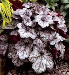 Wednesday's Plant of the Day! Heuchera 'Glitter'!