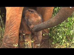 PERFECTLY PERFECT : DSWT Ex-orphan Icholta has her first wild born baby and it's a Boy! Watch wild born baby Inca take his first wobbly steps, filmed when he was just one day old! Baby Inca is thriving from all the love, attention and guidance he could possibly wish for from Emily's attentive ex-orphan herd who form his family. Read more about his progress at: https://www.sheldrickwildlifetrust.org/updates/updates.asp?Rhino=&ID=896