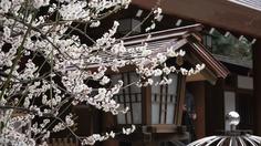白梅 (乃木神社)