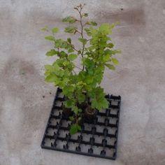BØG 30/50 cm– til bøgepur og hæk. Antal i en karton: 42 stk. Pris/plante: 4,75 kr.