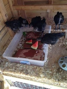 Cooling chickens in extreme heat! Make ice-bricks and set under terracotta bricks. Hours later the water is nice & chilly and the bricks are cool. And so are the chickens! Raising Backyard Chickens, Keeping Chickens, Backyard Farming, Urban Chickens, Chickens And Roosters, Pet Chickens, Chicken Life, Chicken Runs, Chicken Coup