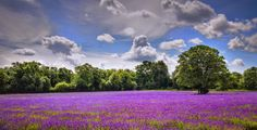 Oak and Lavender by Jacqui Collett on 500px