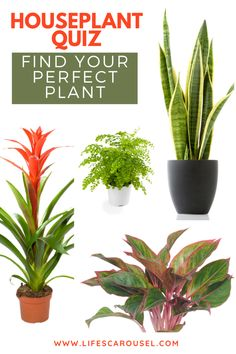 Not sure which type of houseplant to get? Take this houseplant quiz to find your PERFECT match! Answer these easy questions to find the right plant for you! Colorful Plants, Cool Plants, Green Plants, Potted Plants, House Plant Care, House Plants, Growing Vegetables Indoors, Types Of Houseplants, Indoor Plants Low Light