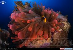 Anemone and clown fish in Red Sea