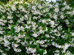 Toscaanse Jasmijn, mooie alternatieve klimmer ipv Hedera. Bloeiend en geurend van juni - oktober. Trachelospermum jasminoides is een wintergroene klimplant met witte, geurende bloemen. Hij groeit het liefst op een plek in de volle zon.groeit graag tegen een warme, zonnige muur of schutting. Een stuk gaas of trellis biedt ze genoeg steun. Op een ideale plek kan de plant uitgroeien tot 5 m hoog en breed.