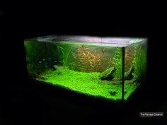 Aquário Plantado - Planted Aquarium