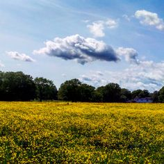 Fields of buttercups during my South Downs cycle in Sussex.. #view #nature #buttercup #southeast #greenfield #seeds #bright #contrast #summer #flowers #southdowns #nationaltrust #landscape #landmark #fields #agriculture #england #sussex #beautyspot #clouds #cloudscape #sky #bluesky