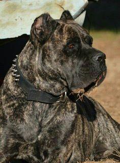 Cane Corso Italiano Mastiff (Crixus)