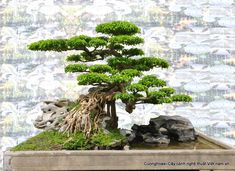 BonsaiBONSAI Tree♦️More Pins Like This At FOSTERGINGER @ Pinterest ♦️