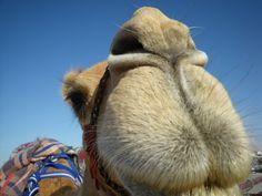 Kiss a Camel