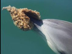 'Sponger' dolphins like to keep each other company