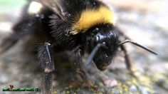 queen bumble bees pictures | Small World of Insects - Bumblebee - YouTube