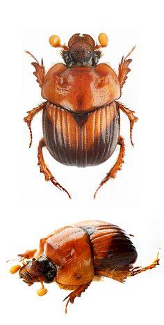 Bolbocerodema nigroplagiatum