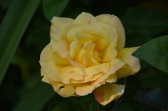 Friesia – ruusu | Vesan viherpiperryskuvat – puutarha kukkii