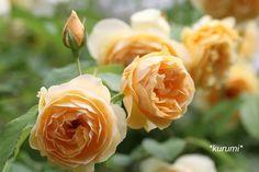 Roses, Flowers, Plants, Pink, Rose, Royal Icing Flowers, Flower, Florals, Floral