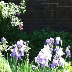 Roses reach for iris