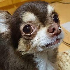 . 鼻の穴に入るんじゃない?ってくらい 場所と大きさがジャスト。 面白いからこのままにしてたかったのに  蒼ちゃん、かわいそう!😭 とおばあちゃん。 すぐ取ってあげてました。 . そんなおばあちゃんが蒼は大好き♡ . #チワワ#치와와#吉娃娃#犬#愛犬#犬バカ#ロングコートチワワ#チョコタン #dog#mydog#chihuahua#dogoftheday#chihuahuaoftheday#instachihuahua#instadog#dog_features#chihuahualove#onlychihuahuas#chihuahuaofinstagram#dogofinstagram#chihuahuafanatics#dogcorner#dogs_of_instagram#dogpic#topdogphoto#mydogiscutest#chihuahuastagram#a_dogsworld#dogstagram#ig_dogphoto