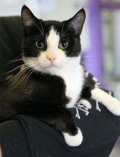Animal Friends Rescue Project Pacific Grove, CA. HOOK <3 & his best buddy Captain are looking for a home together! Hook is a 10 mo tuxedo taken to the emergency clinic as a stray w/ an old, untreated injury. Unable to use his right front leg normally because the joint near his front paw is bent like a hook. This smart boy has learned to compensate & is able to play w/ his toys, hop onto a cat tree & climb into your lap for lots of love! Indoor home only.