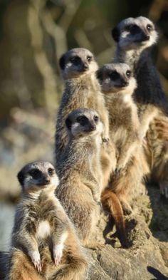 Família de suricatos curte a onda de calor no mês de novembro em Tenby, País de Gales. Os animais estão abrigados no Parque Manor House, dedicado à vida selvagem
