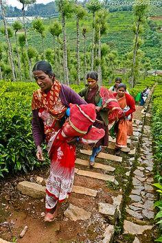Tea Pickers , India